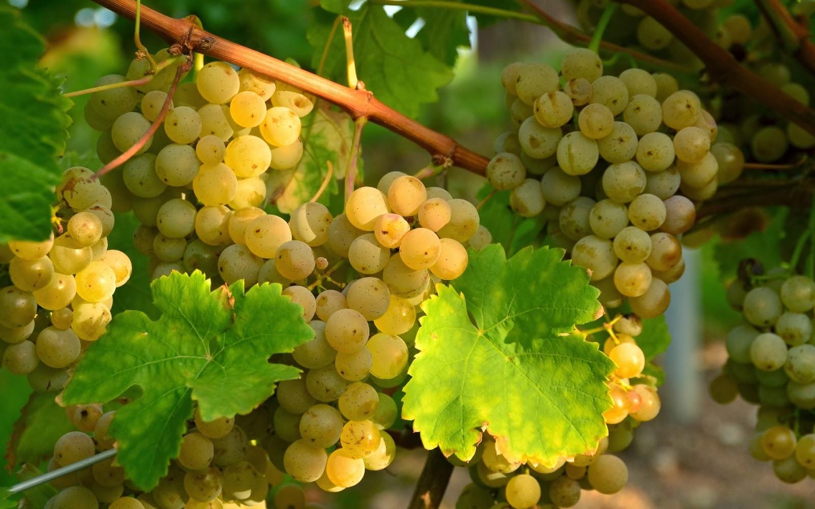 фото винограда сорта Алиготе