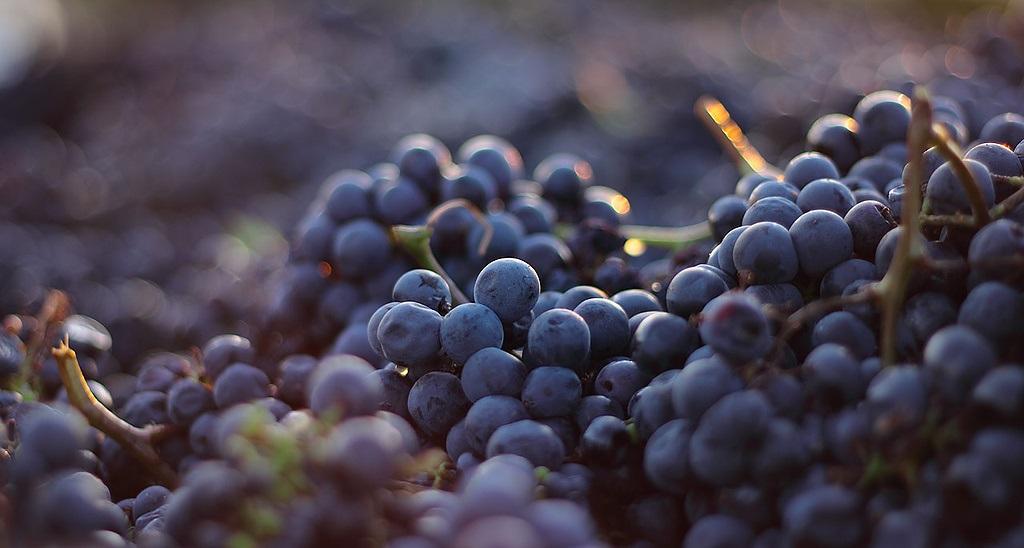 фото винограда сорта