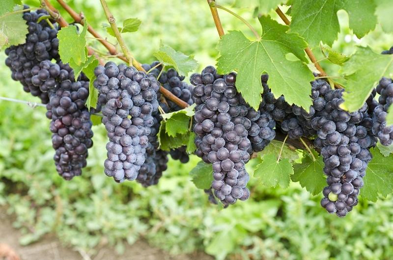 фото винограда сорта Ягоды Неббиоло