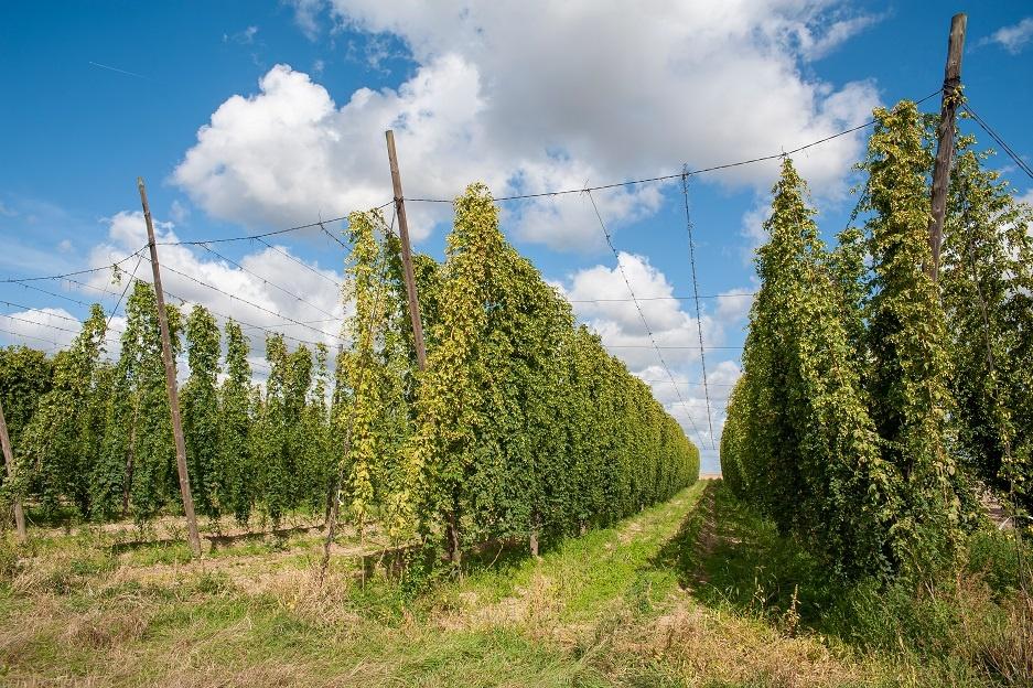 как выращивают хмель для пива