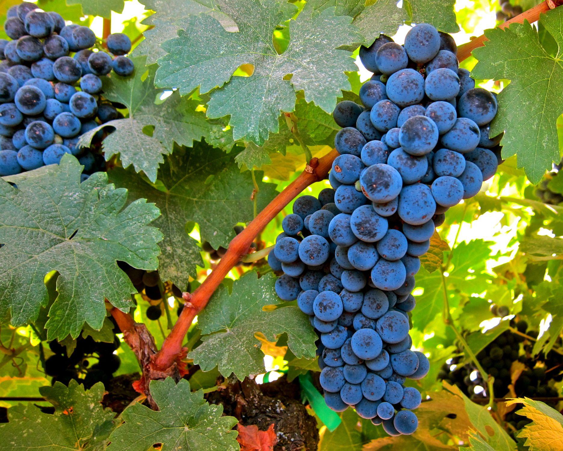 фото сорта винограда Бастардо