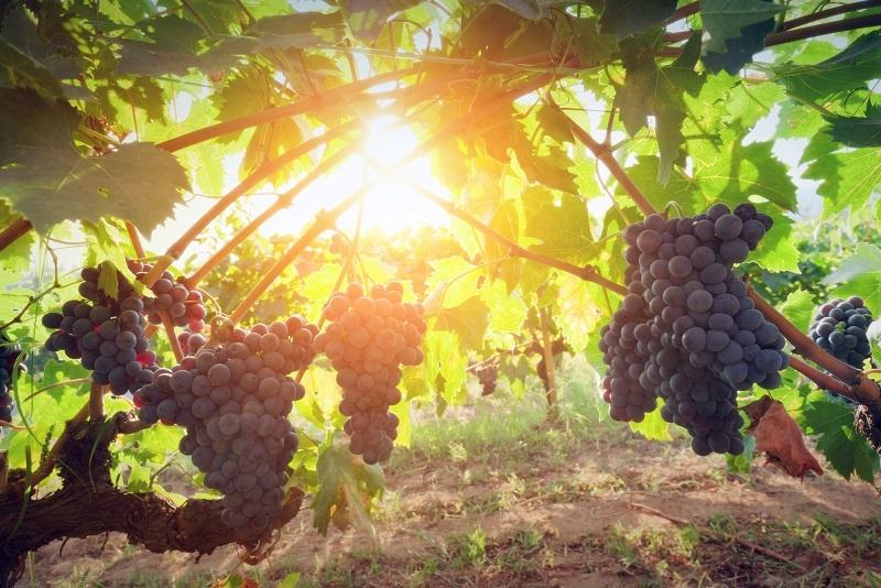 Ягоды винограда Бастардо фото