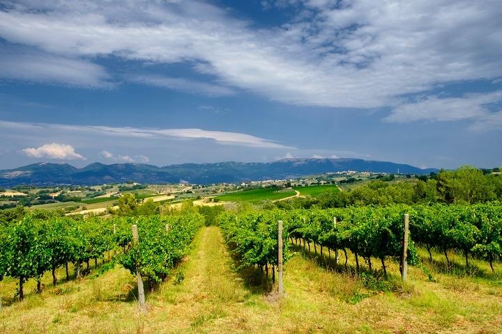 фото виноградника Бастардо