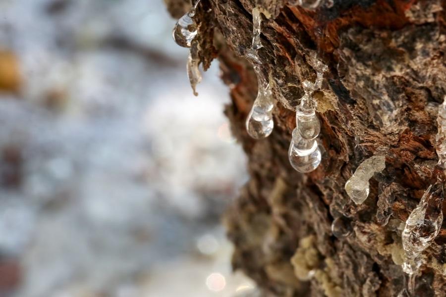 Смола мастичного дерева фото
