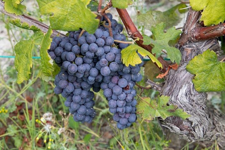 Виноград Неббиоло фото