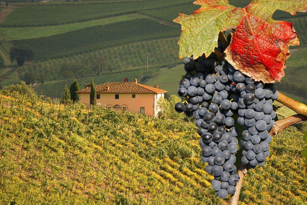 фото ягод винограда сорта Неббиоло