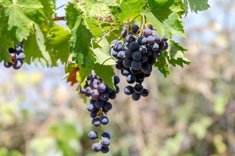 сорт винограда Мавродафни