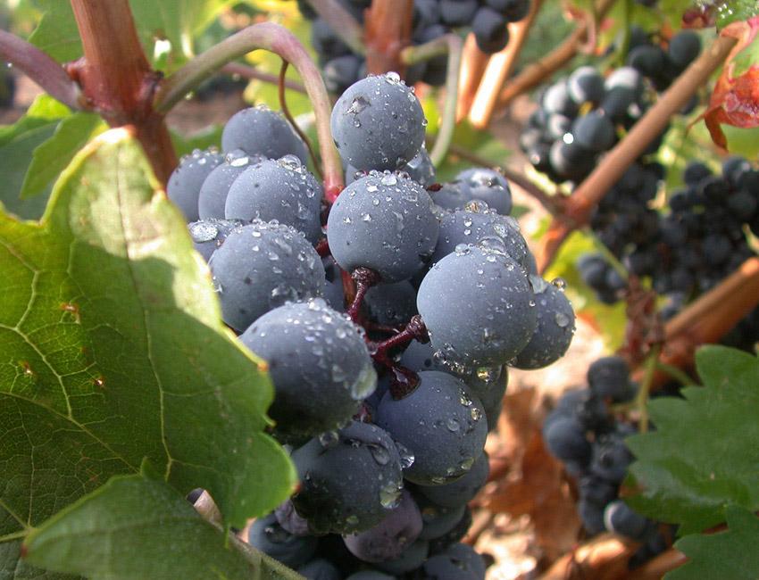 фото сорта винограда мавродафни