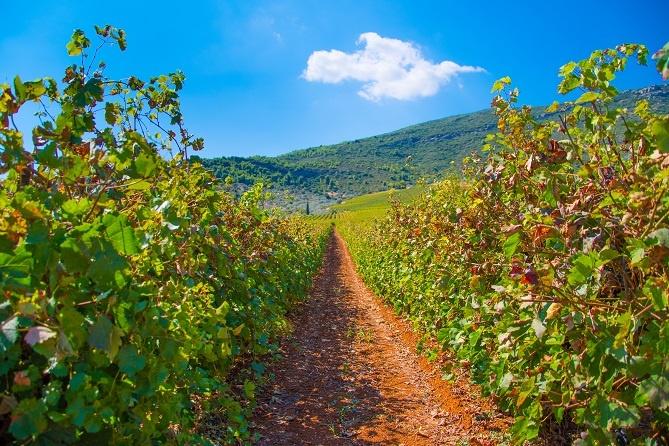 фото виноградника Мавродафни