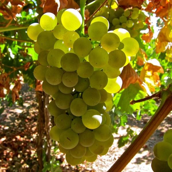 фото винограда сорта Верментино
