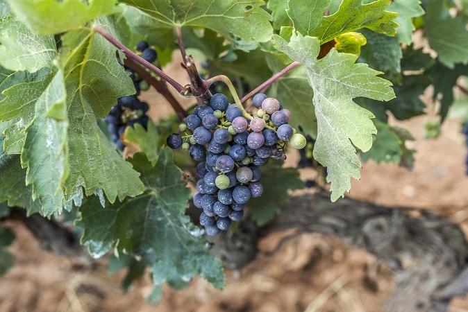 фото каталонского винограда