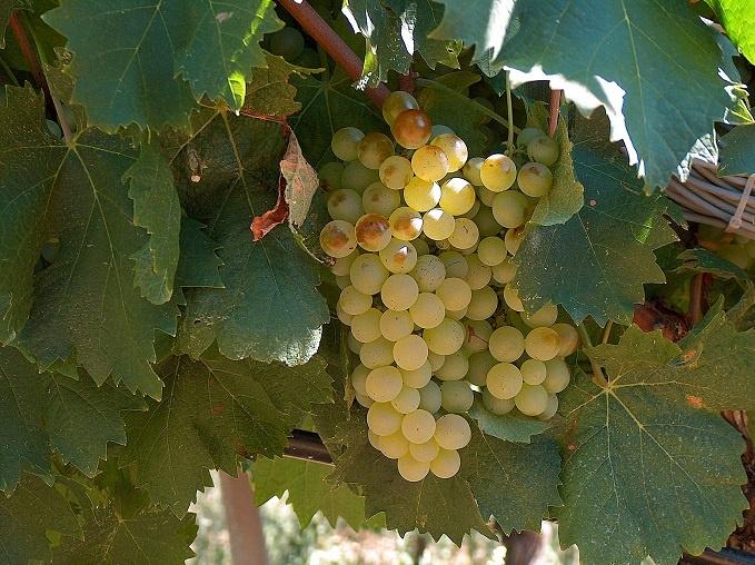 Виноград Верментино фото