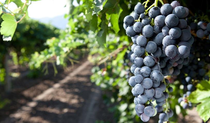 фото винограда сорта санджовезе
