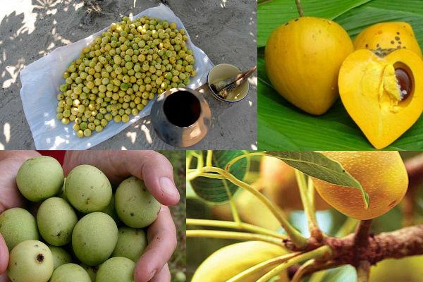 фото плодов марулы