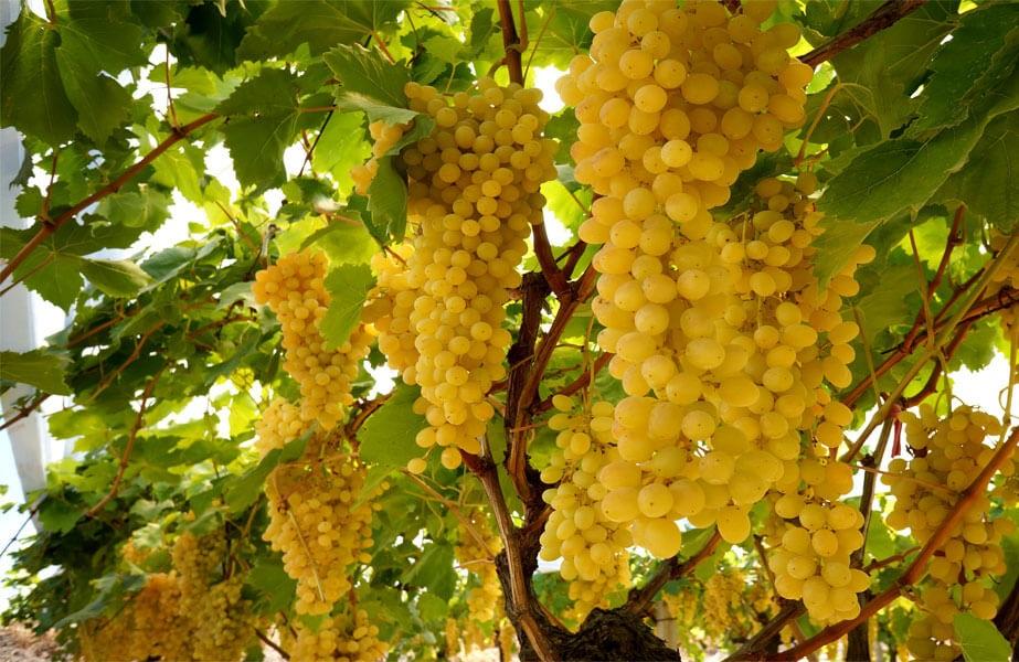 фото винограда Ркацители