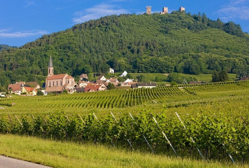 фото виноградника в Эльзасе