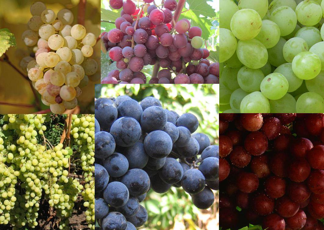 фото видов винограда Мускат