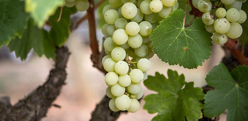 фото сорта винограда Айрен