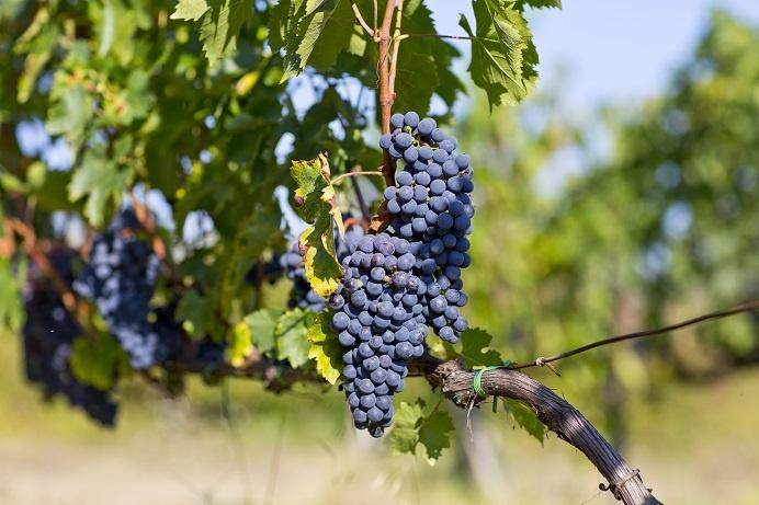 сорт винограда санджовезе