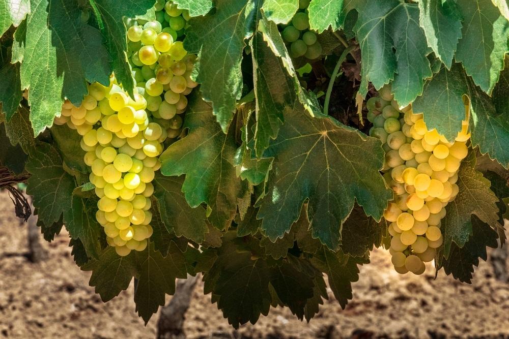фото винограда сорта айрен