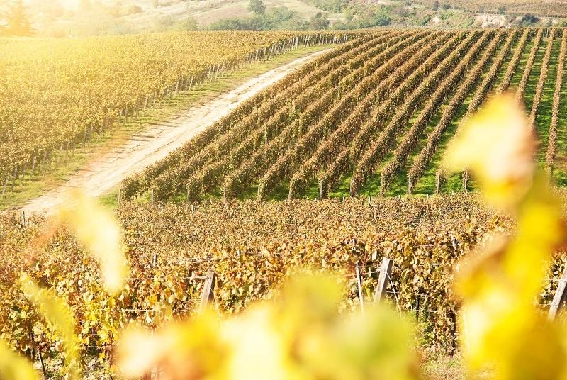 фото виноградника айрен