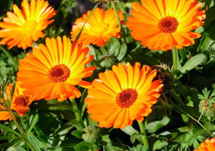 фото цветков календулы