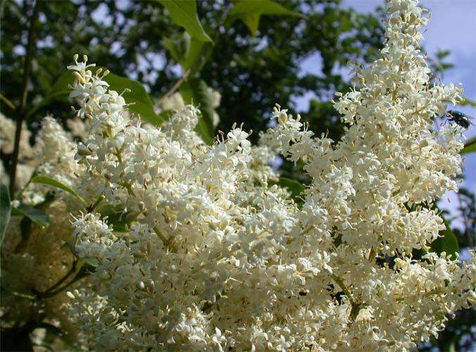 фото цветков белой сирени