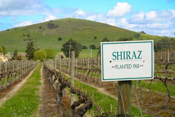 фото плантации винограда сира