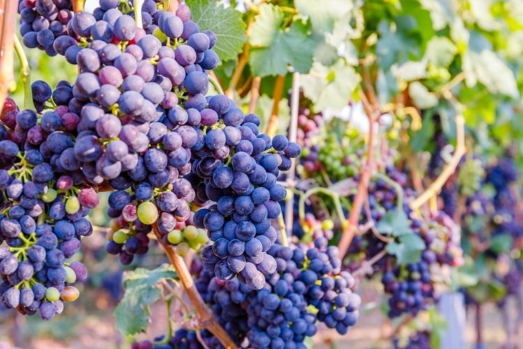 Виноград Сира (Шираз) фото