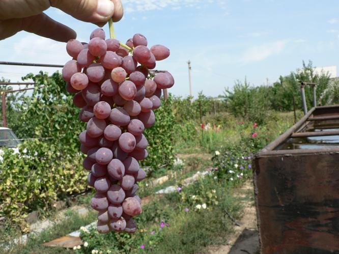 фото винограда Аксай