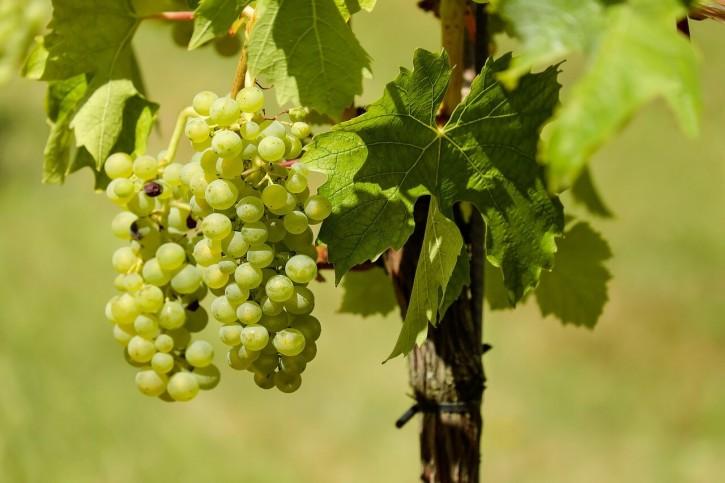 фото винограда Алиготе