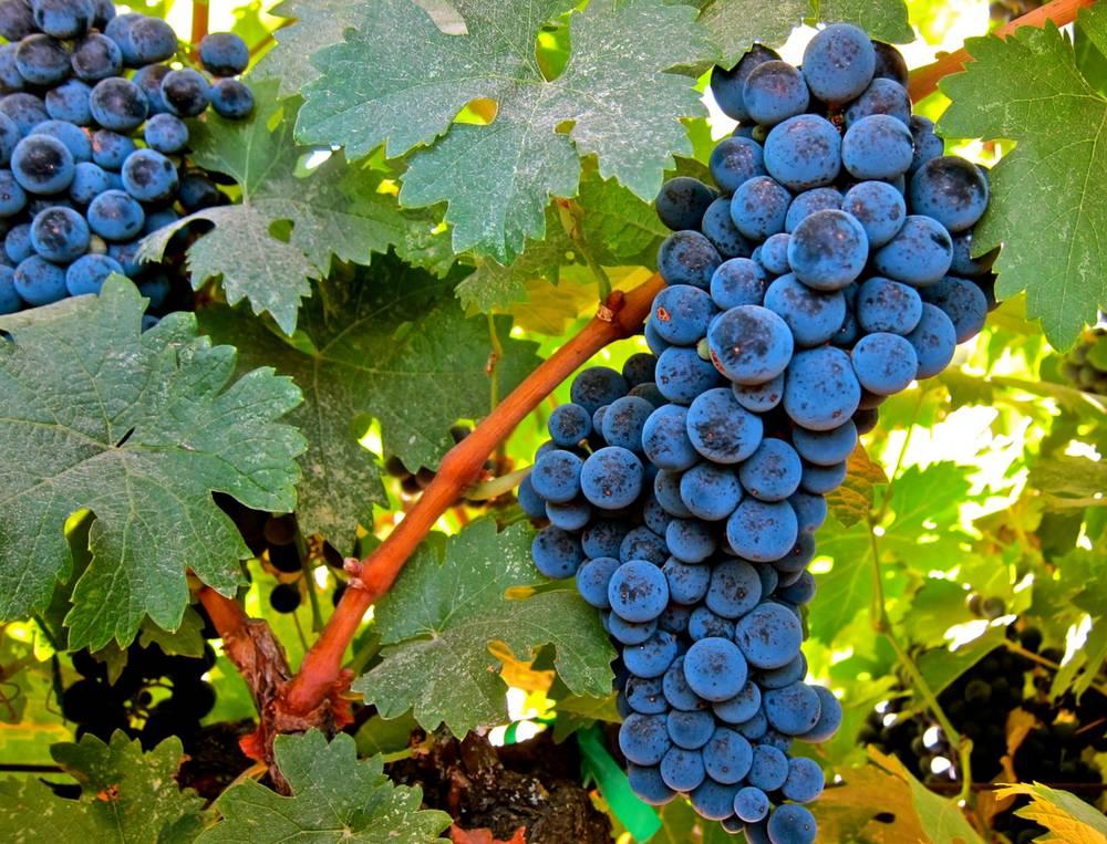 фото винограда Бастардо Магарачский
