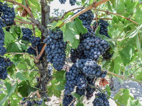фото винограда черный жемчуг