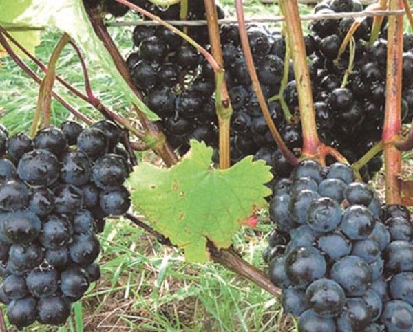 фото винограда добрыня