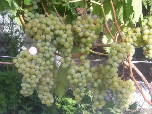 фото винограда Дружба