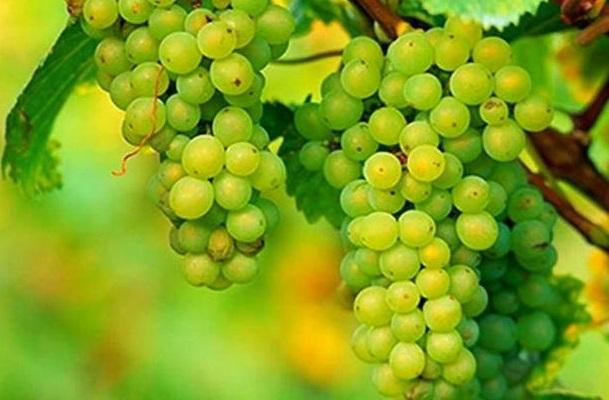 фото винограда Фетяска