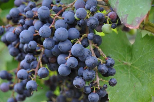 фото винограда фиолетовый ранний