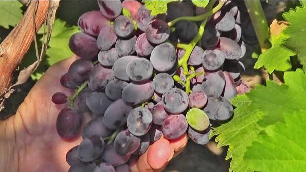 фото винограда Гармония