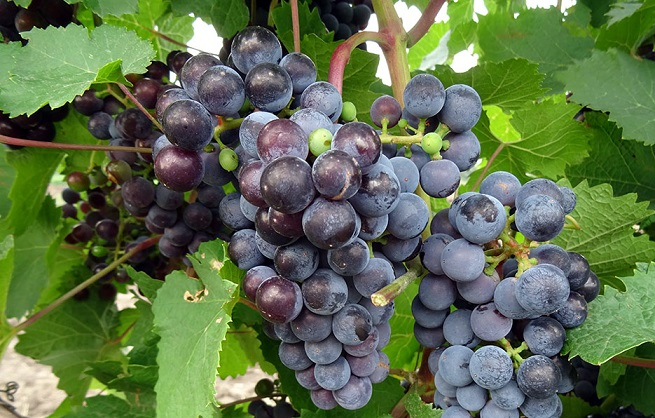фото винограда Голубок