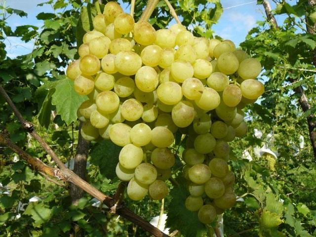 фото сорта винограда Кристалл