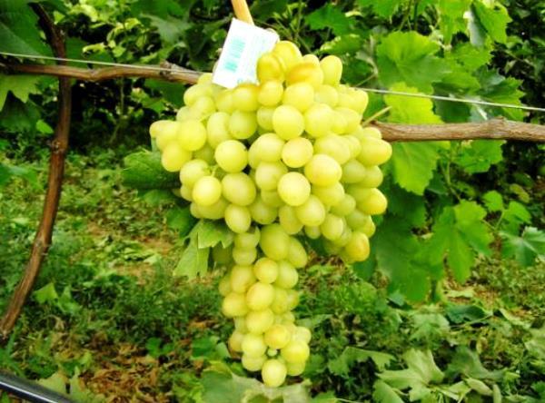 фото винограда Мускат Катунский