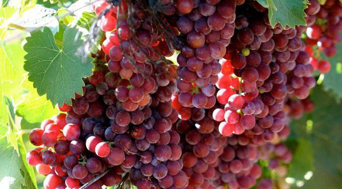 фото винограда Мускат розовый