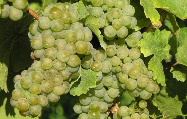 фото винограда Рислинг