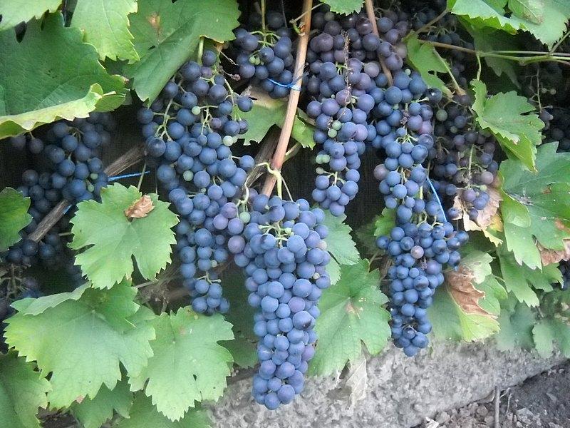 фото винограда Саперави Северный