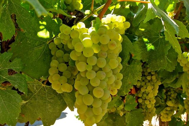 фото винограда Шардоне