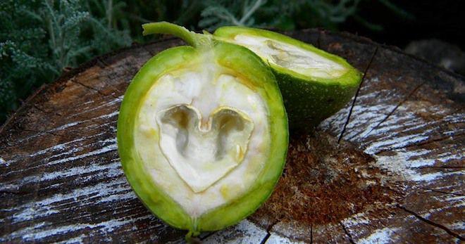 фото молодого грецкого ореха