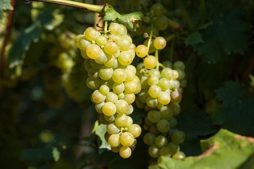 фото сорта винограда Moscato Bianco