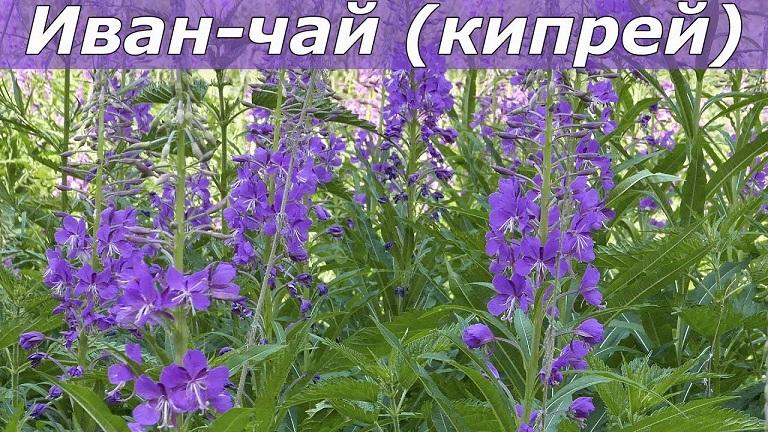 фото растения Иван-чай кипрей