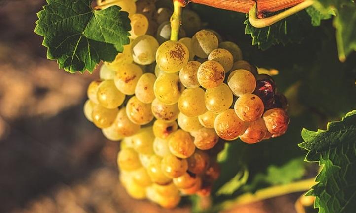 фото винограда москато бьянко