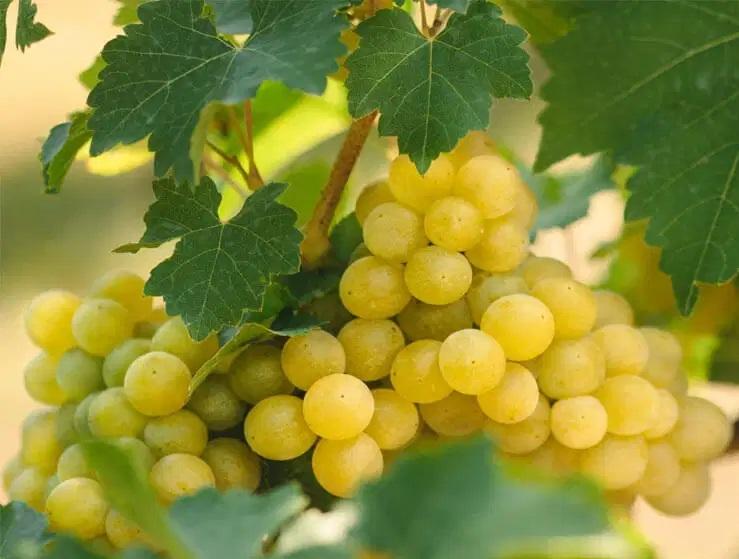 фото винограда Цоликоури